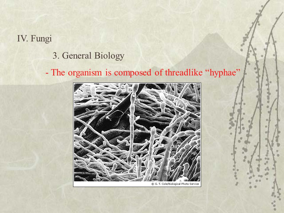 "IV. Fungi 3. General Biology - The organism is composed of threadlike ""hyphae"""