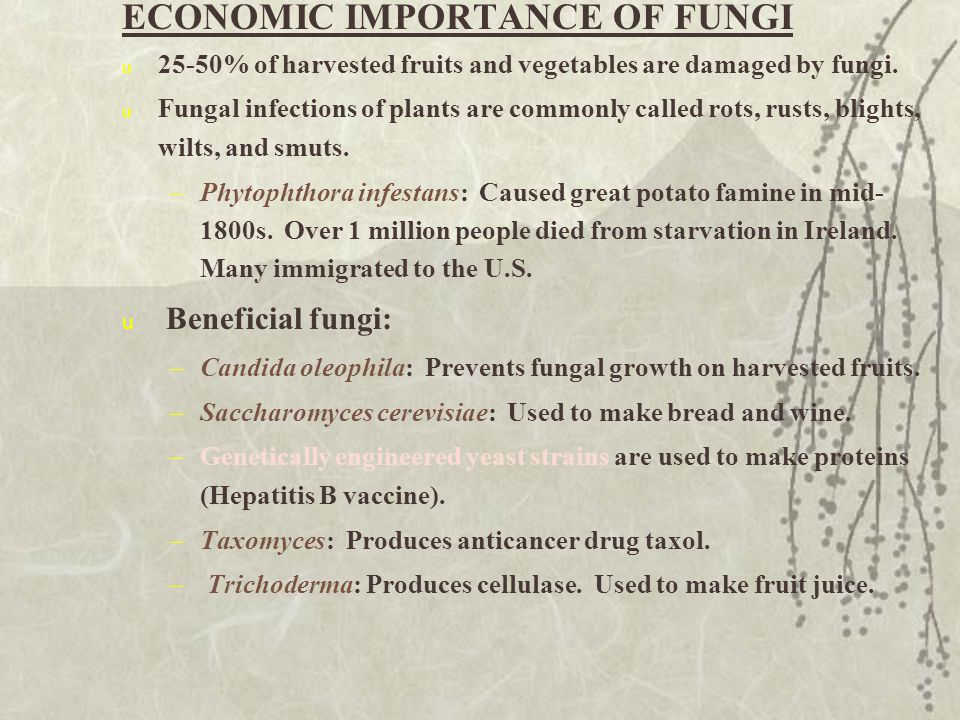 ECONOMIC IMPORTANCE OF FUNGI u 25-50% of harvested fruits and vegetables are damaged by fungi. u Fungal infections of plants are commonly called rots,