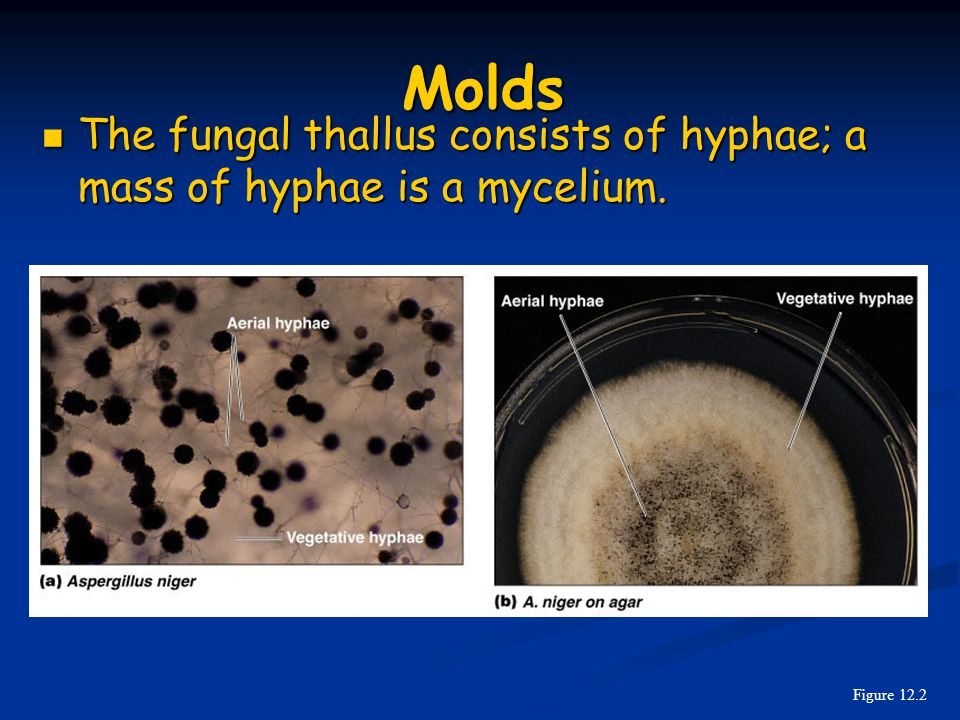 The fungal thallus consists of hyphae; a mass of hyphae is a mycelium.