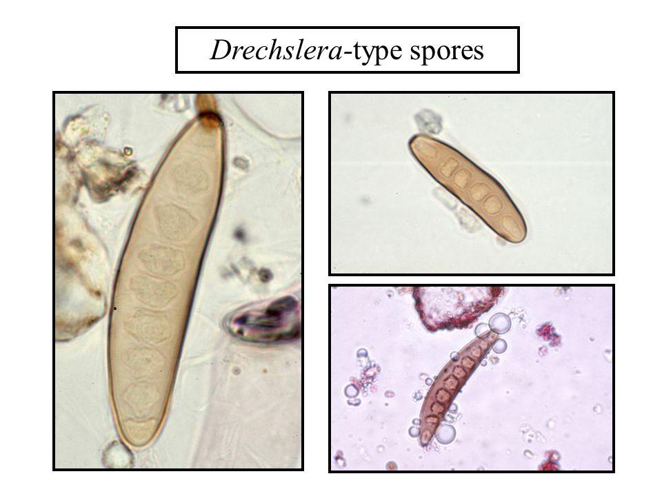 Drechslera-type spores