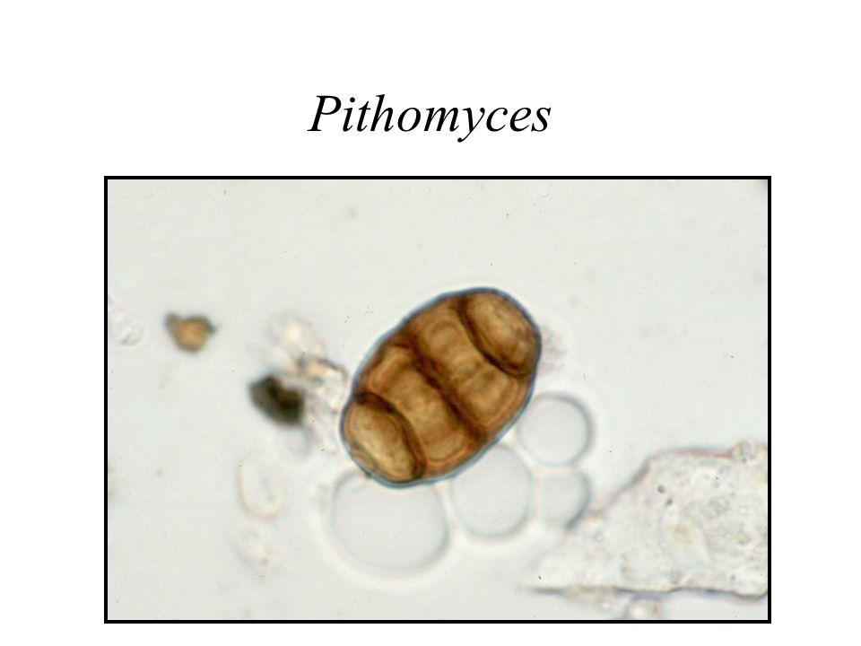 Pithomyces