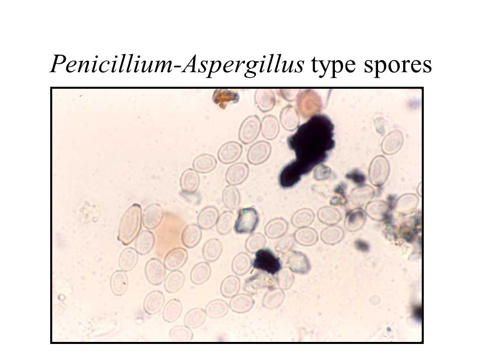 Penicillium-Aspergillus type spores