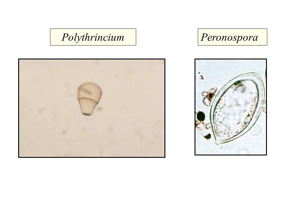 PolythrinciumPeronospora