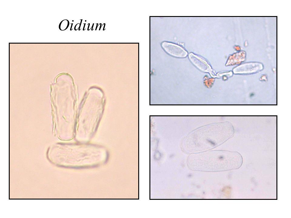 Oidium