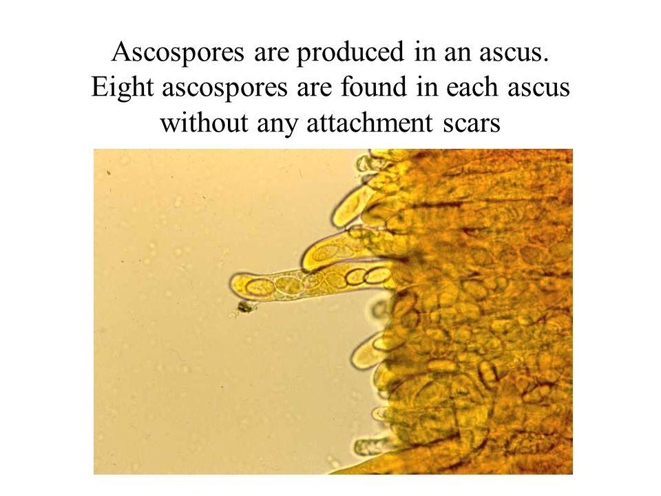 Ascospores are produced in an ascus.