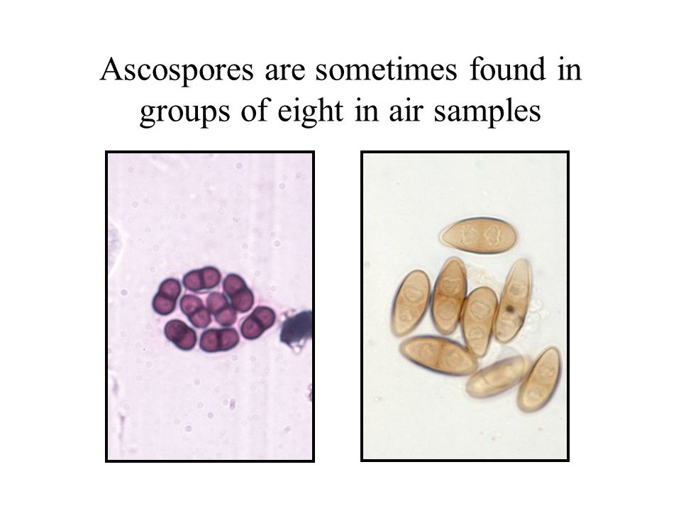 Ascospores are sometimes found in groups of eight in air samples