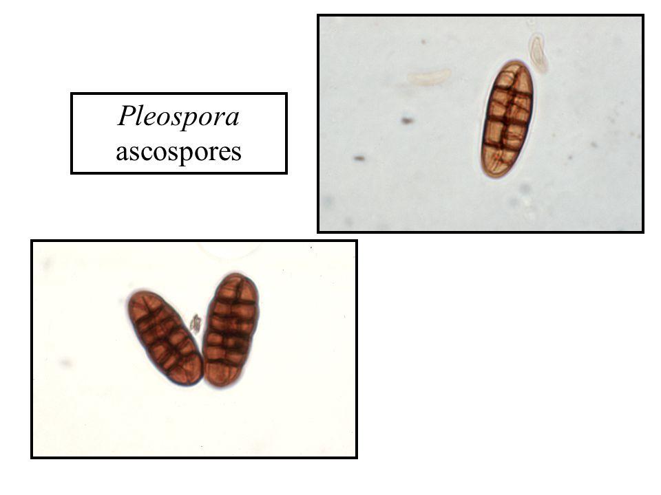 Pleospora ascospores