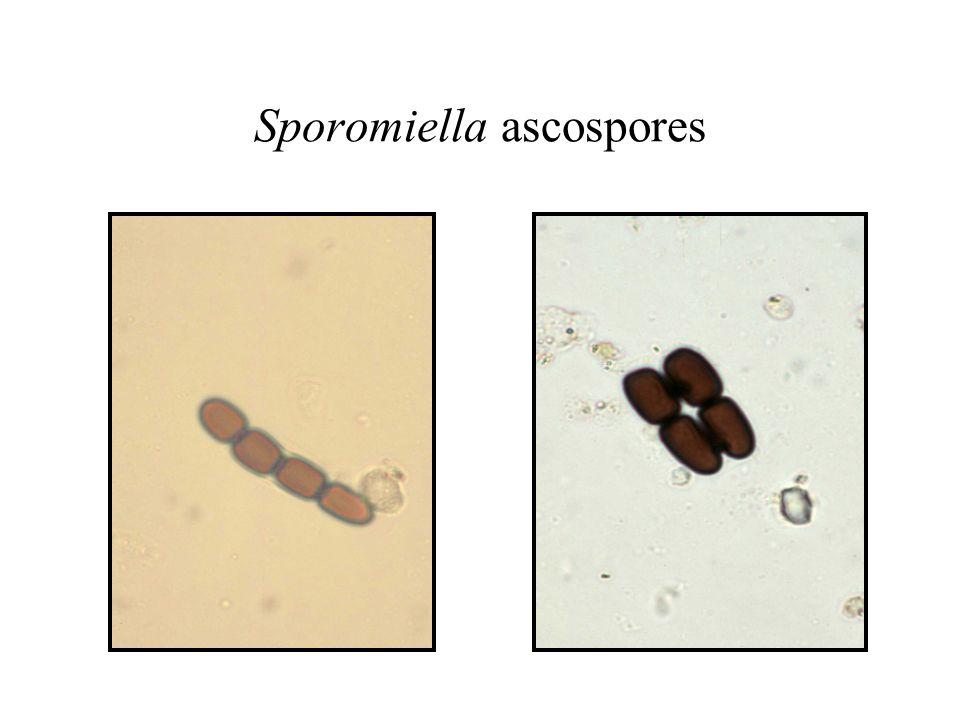 Sporomiella ascospores