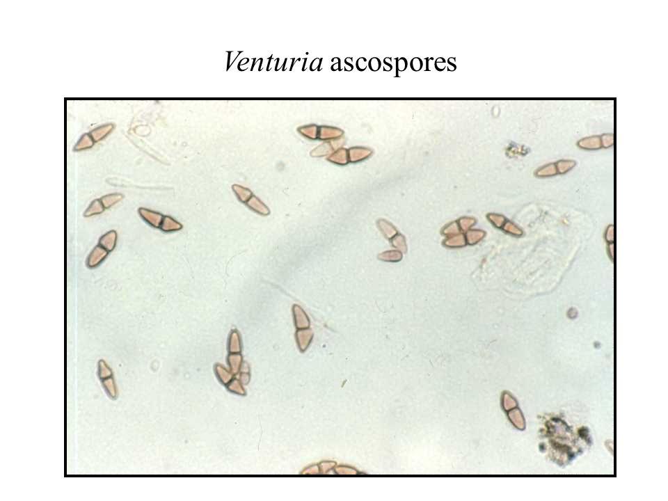 Venturia ascospores