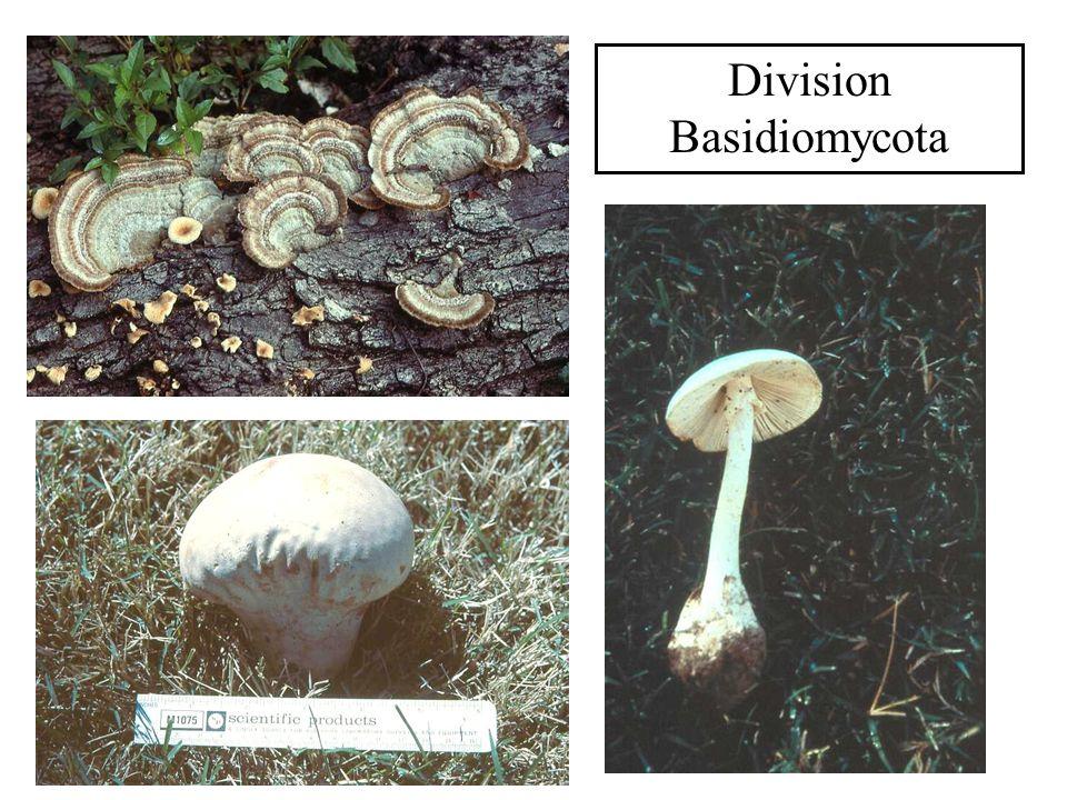 Division Basidiomycota