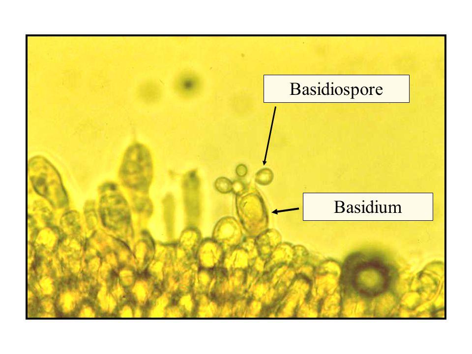 Basidiospore Basidium