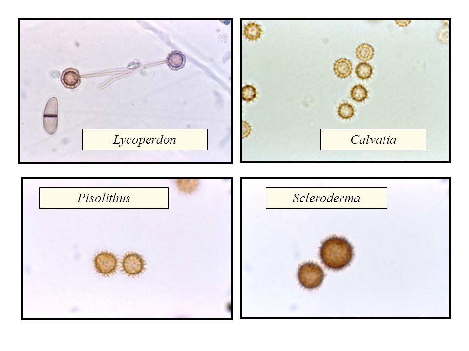 LycoperdonCalvatia PisolithusScleroderma
