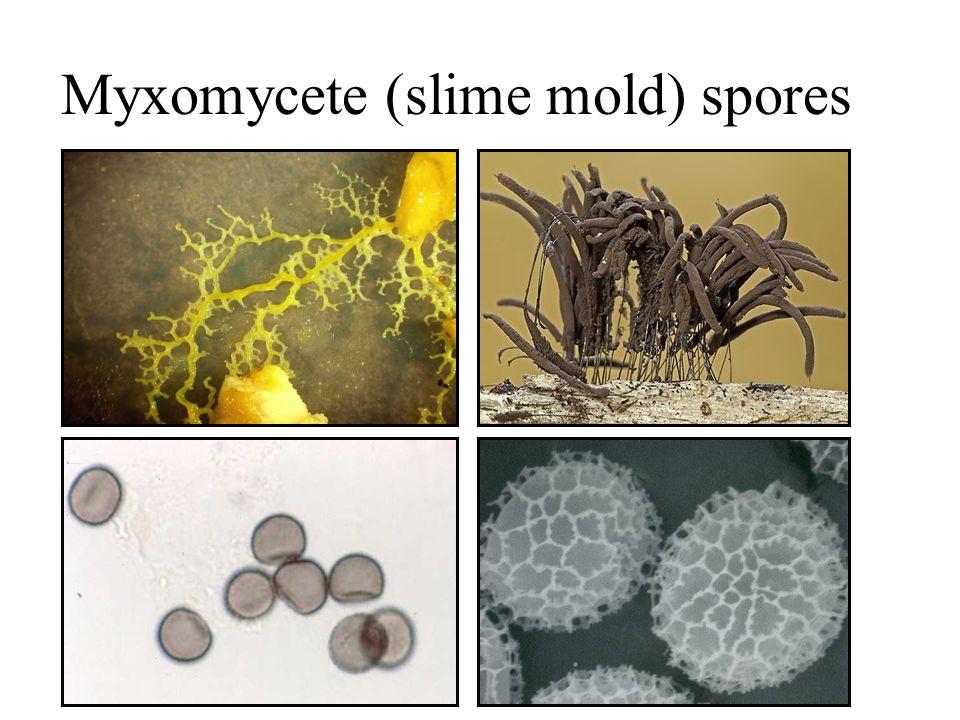 Myxomycete (slime mold) spores