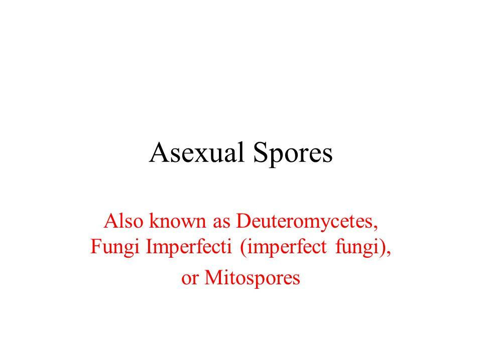 Asexual Spores Also known as Deuteromycetes, Fungi Imperfecti (imperfect fungi), or Mitospores