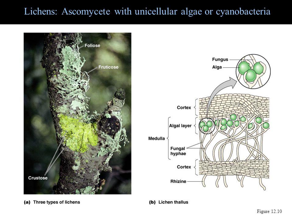 Lichens: Ascomycete with unicellular algae or cyanobacteria Figure 12.10