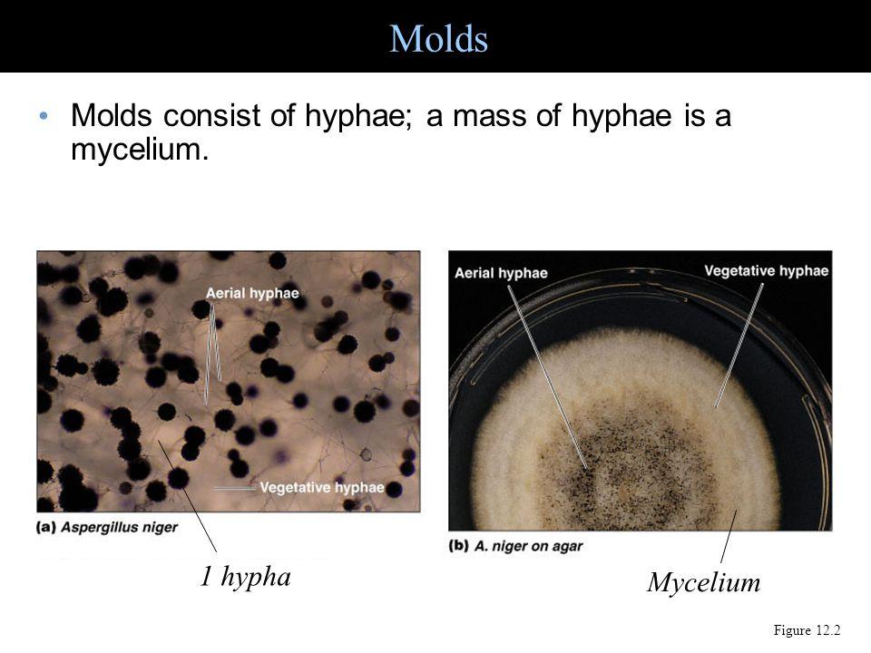 Molds consist of hyphae; a mass of hyphae is a mycelium. Molds Figure 12.2 1 hypha Mycelium