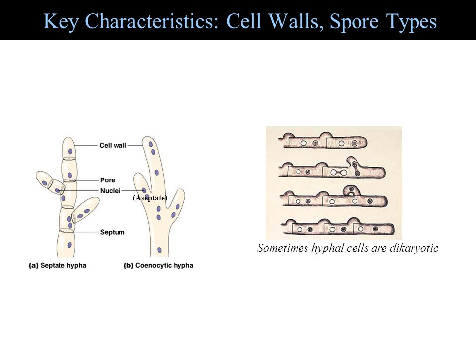 Key Characteristics: Cell Walls, Spore Types Sometimes hyphal cells are dikaryotic (Aseptate)