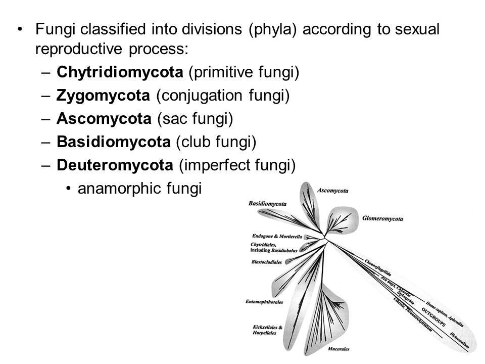 Fungi classified into divisions (phyla) according to sexual reproductive process: –Chytridiomycota (primitive fungi) –Zygomycota (conjugation fungi) –