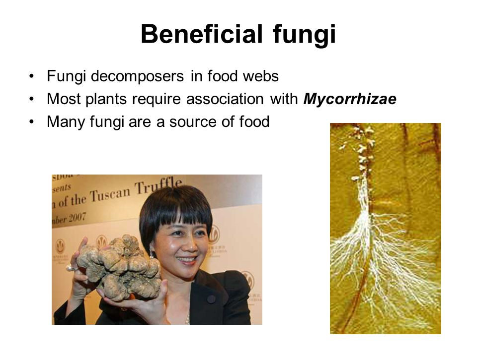 Beneficial fungi Fungi decomposers in food webs Most plants require association with Mycorrhizae Many fungi are a source of food
