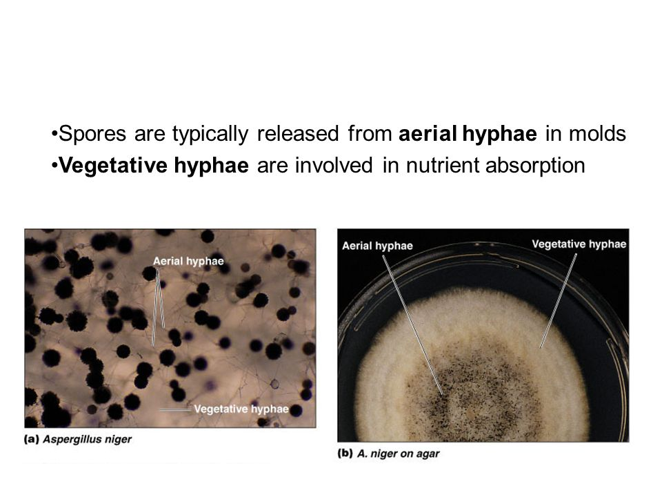Spores are typically released from aerial hyphae in molds Vegetative hyphae are involved in nutrient absorption
