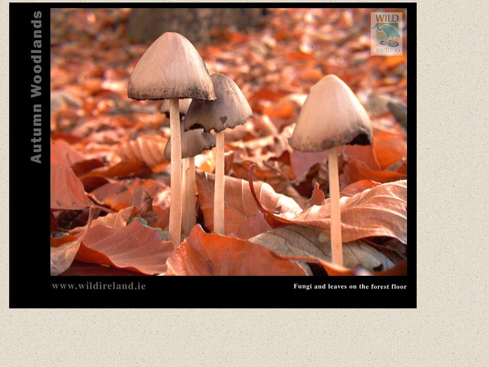 Mushrooms – Club Like Fungi or Basidiomycete Fungi