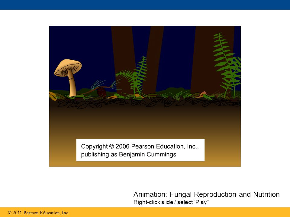 Anatomy basics Fungi consist of mycelia, networks of branched hyphae adapted for absorption A mycelium's structure maximizes its surface area-to-volume ratio Fungal cell walls contain chitin © 2011 Pearson Education, Inc.