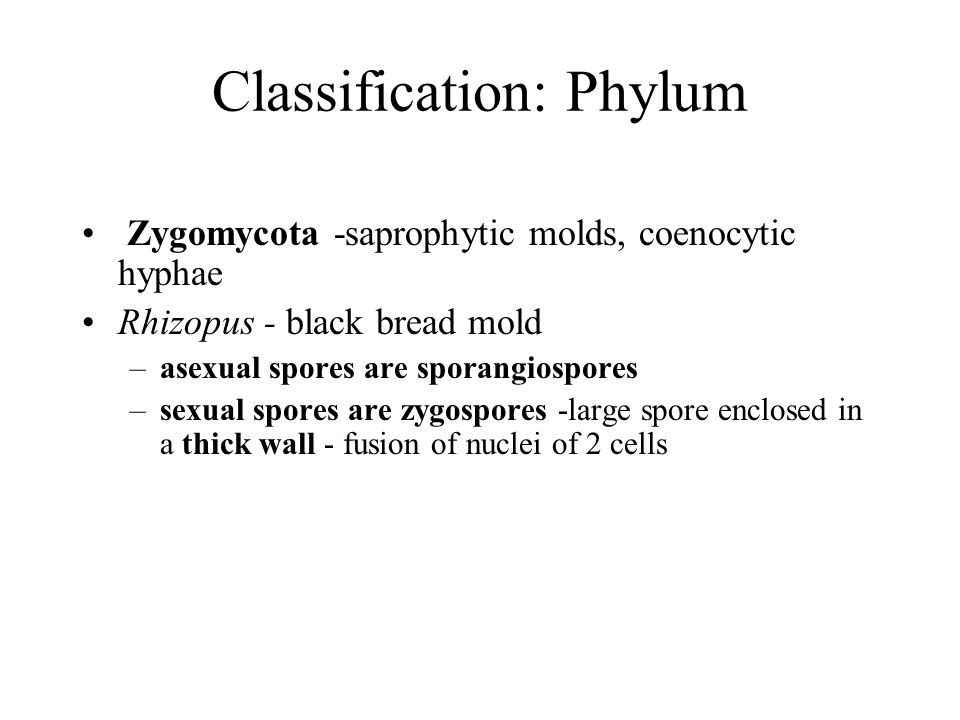 Classification: Phylum Zygomycota -saprophytic molds, coenocytic hyphae Rhizopus - black bread mold –asexual spores are sporangiospores –sexual spores are zygospores -large spore enclosed in a thick wall - fusion of nuclei of 2 cells