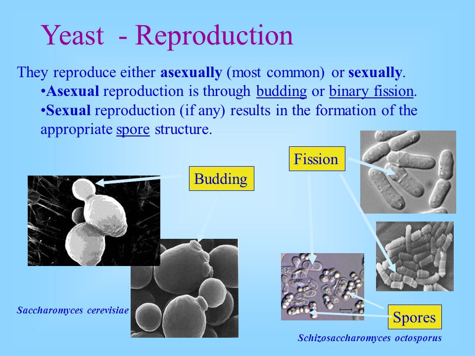 They reproduce either asexually (most common) or sexually. Asexual reproduction is through budding or binary fission. Sexual reproduction (if any) res