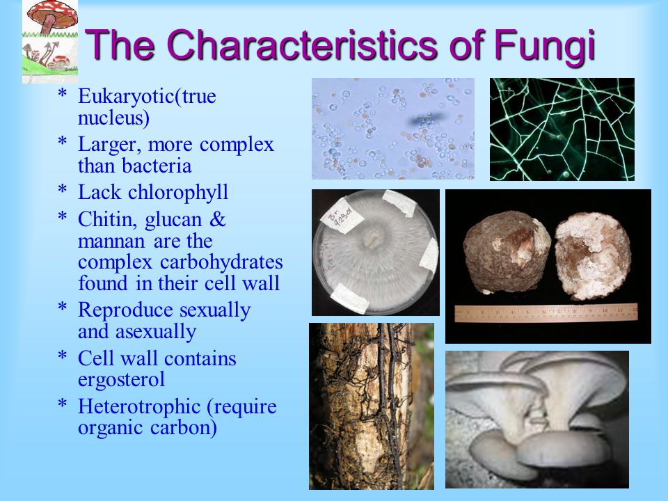 The Characteristics of Fungi *Eukaryotic(true nucleus) *Larger, more complex than bacteria *Lack chlorophyll *Chitin, glucan & mannan are the complex