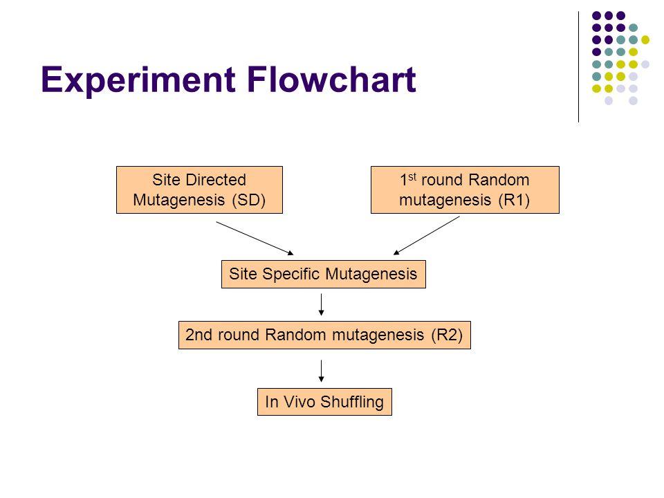 Experiment Flowchart Site Directed Mutagenesis (SD) 1 st round Random mutagenesis (R1) Site Specific Mutagenesis In Vivo Shuffling 2nd round Random mutagenesis (R2)