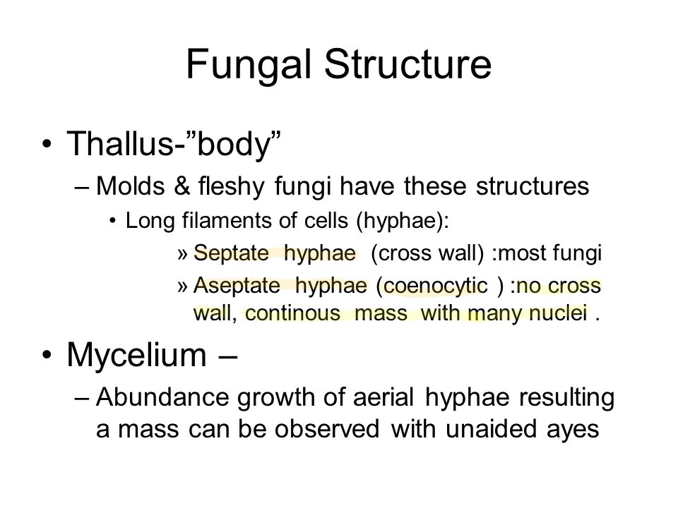 """Fungal Structure Thallus-""""body"""" –Molds & fleshy fungi have these structures Long filaments of cells (hyphae): »Septate hyphae (cross wall) :most fungi"""