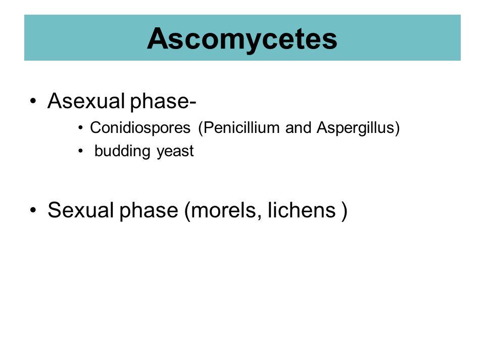 Ascomycetes Asexual phase- Conidiospores (Penicillium and Aspergillus) budding yeast Sexual phase (morels, lichens )