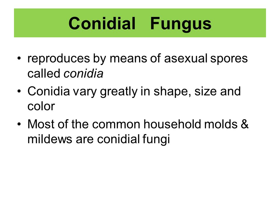 Conidial Fungus reproduces by means of asexual spores called conidia Conidia vary greatly in shape, size and color Most of the common household molds