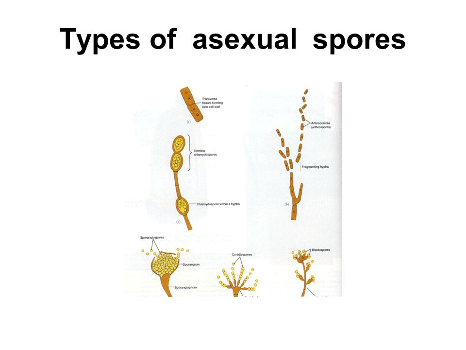 Types of asexual spores