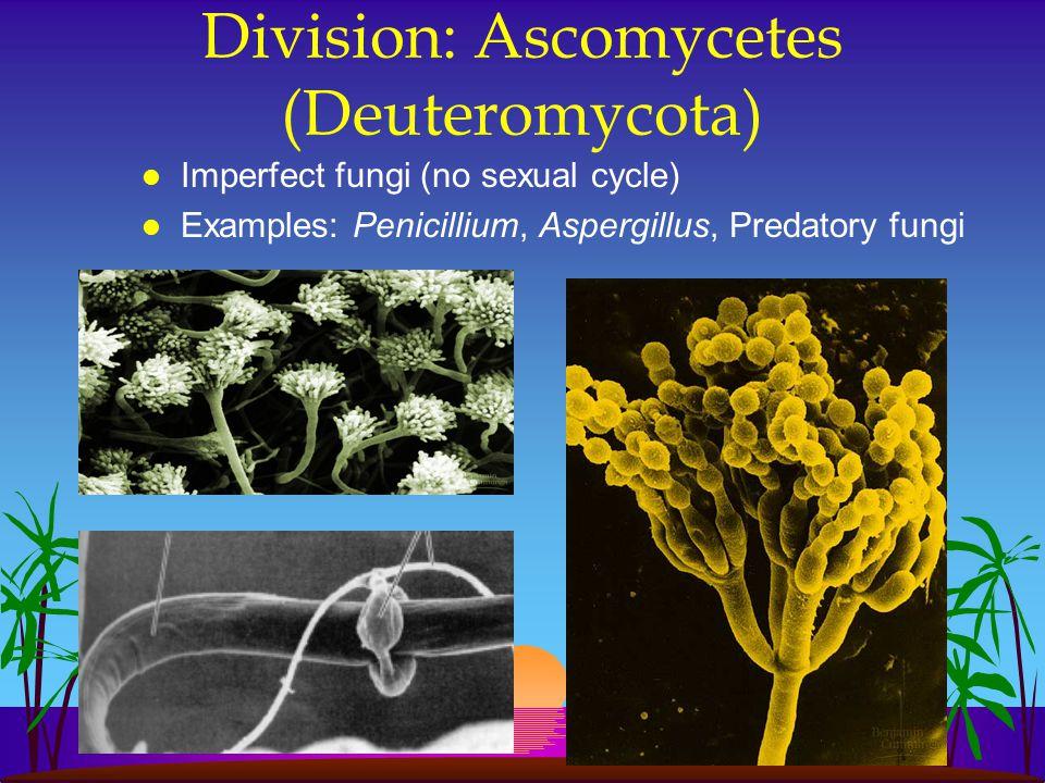 Division: Ascomycetes (Deuteromycota) l Imperfect fungi (no sexual cycle) l Examples: Penicillium, Aspergillus, Predatory fungi