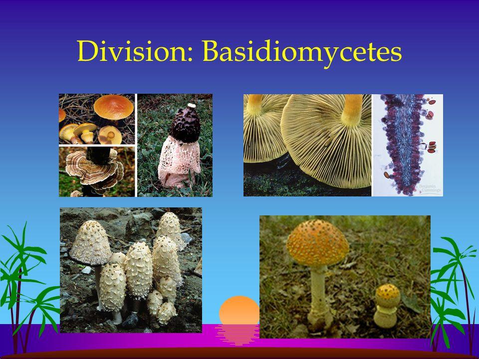 Division: Basidiomycetes