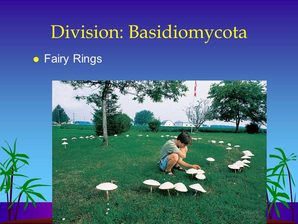 Division: Basidiomycota l Fairy Rings