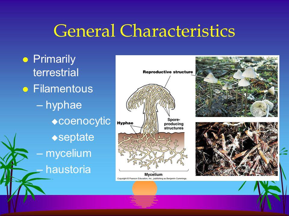 General Characteristics l Primarily terrestrial l Filamentous –hyphae u coenocytic u septate –mycelium –haustoria