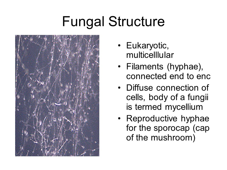 Fungal Structure Eukaryotic, multicelllular Filaments (hyphae), connected end to enc Diffuse connection of cells, body of a fungii is termed mycellium Reproductive hyphae for the sporocap (cap of the mushroom)