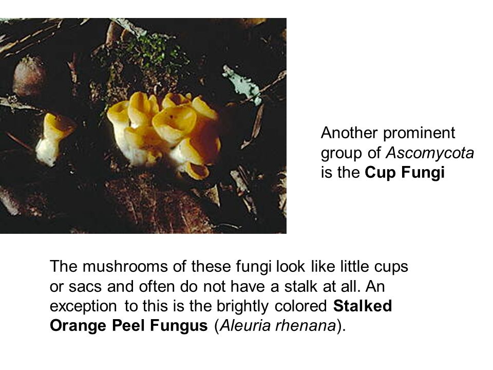 Another prominent group of Ascomycota is the Cup Fungi The mushrooms of these fungi look like little cups or sacs and often do not have a stalk at all.