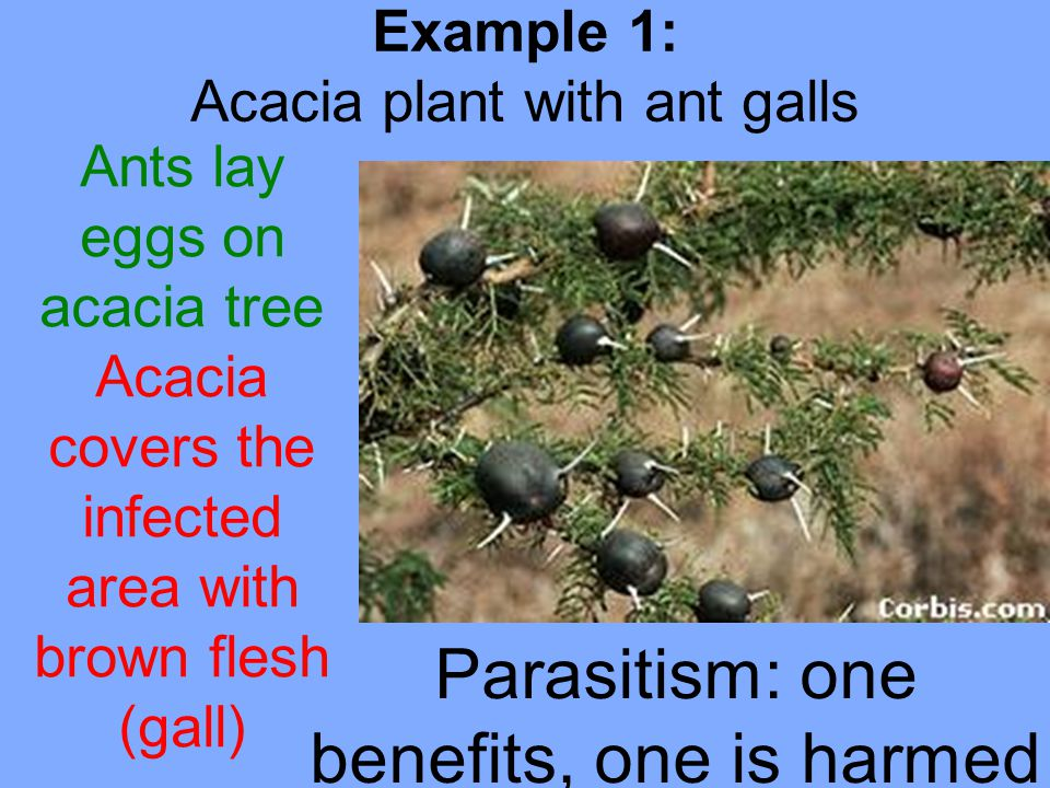 Parasitism: one benefits, one is harmed Example 1: Acacia plant with ant galls Ants lay eggs on acacia tree Acacia covers the infected area with brown flesh (gall)