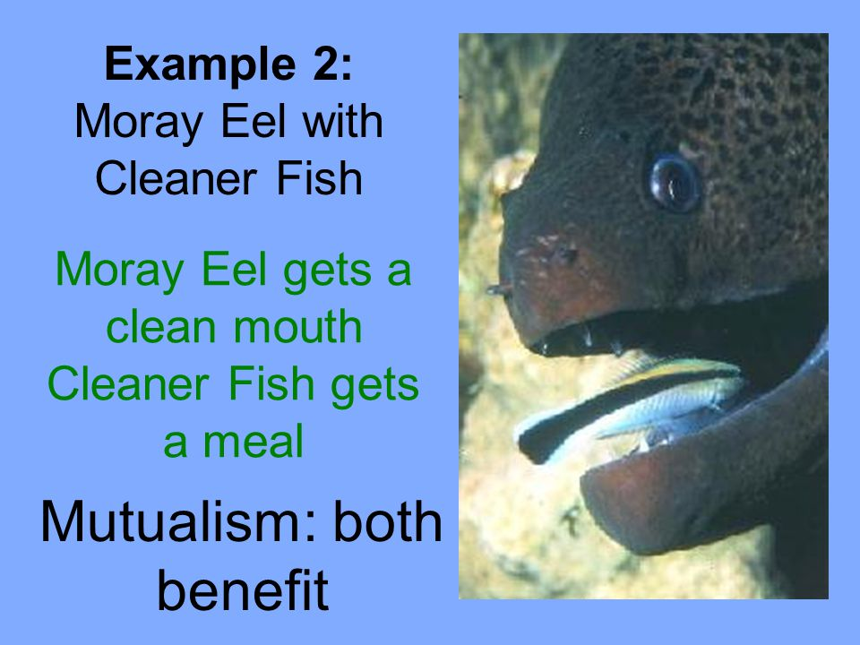 Mutualism: both benefit Example 2: Moray Eel with Cleaner Fish Moray Eel gets a clean mouth Cleaner Fish gets a meal