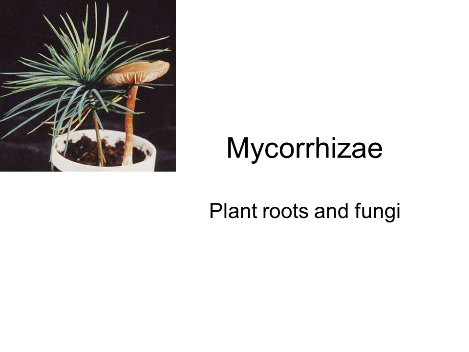 Mycorrhizae Key components of ecosystems Link plants within a habitat Labelled CO 2 fed to tree can be found in seedlings growing nearby Retain and conserve mineral nutrients