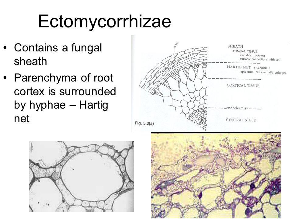 Other types of mycorrhizae Orchids – orchid seeds are very small and do not contain enough organic reserves to allow development of the plant Must be infected soon after germination – fungus provides seedling with carbohydrates Basidiomycetes involved in this mycorrhiza are litter decomposing species of Rhizoctonia, Armillaria that produce cellulases