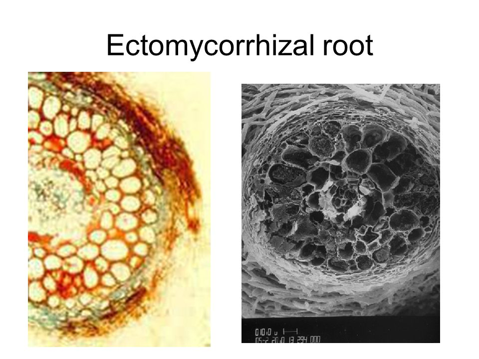 Orchid mycorrhizae Fungi are widely distributed outside the symbiosis – some are plant pathogens, others are saprotrophs Appears to be a delicate balance between plant and fungus Orchid keeps fungus in check by digesting intracellular hyphal coils, production of antifungal substances so fungus doesn't kill the orchid