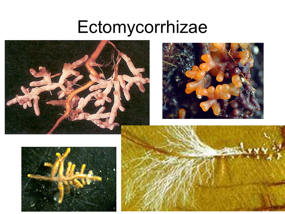 Ectomycorrhizae Symbionts 2000 plant species – primarily temperate trees and eucalyptus Major species of coniferous and deciduous trees Rare to find uninfected trees In some trees, the association is obligate, in others facultative Mycorrhizal association important in forestry