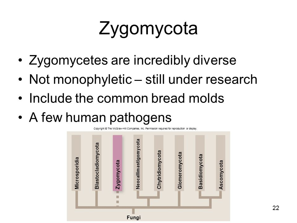 Zygomycota Zygomycetes are incredibly diverse Not monophyletic – still under research Include the common bread molds A few human pathogens 22 Copyrigh