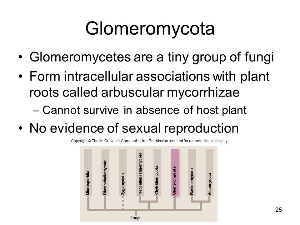 Glomeromycota Glomeromycetes are a tiny group of fungi Form intracellular associations with plant roots called arbuscular mycorrhizae –Cannot survive