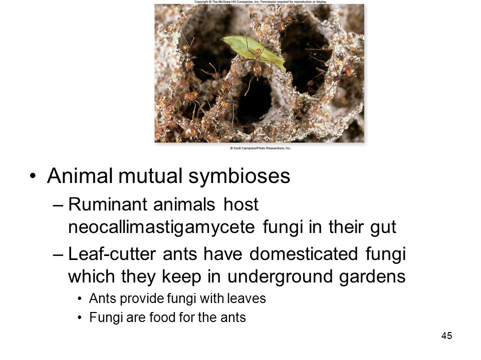 Animal mutual symbioses –Ruminant animals host neocallimastigamycete fungi in their gut –Leaf-cutter ants have domesticated fungi which they keep in u