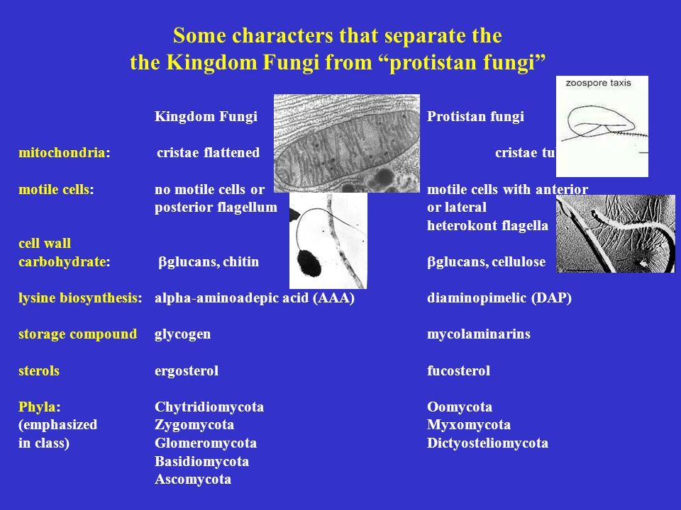 Some characters that separate the the Kingdom Fungi from protistan fungi Kingdom Fungi Protistan fungi mitochondria: cristae flattened cristae tubular motile cells: no motile cells or motile cells with anterior posterior flagellumor lateral heterokont flagella cell wall carbohydrate:  glucans, chitin  glucans, cellulose lysine biosynthesis:alpha-aminoadepic acid (AAA) diaminopimelic (DAP) storage compoundglycogenmycolaminarins sterolsergosterolfucosterol Phyla: Chytridiomycota Oomycota (emphasizedZygomycotaMyxomycota in class)Glomeromycota Dictyosteliomycota Basidiomycota Ascomycota
